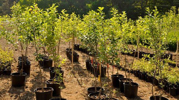 Как сажать саженцы плодовых деревьев?