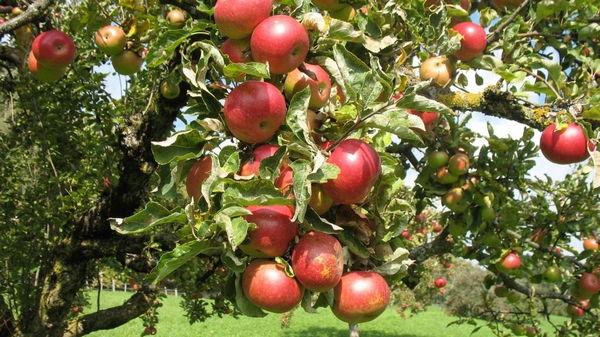 Как правильно привить яблоню черенком?