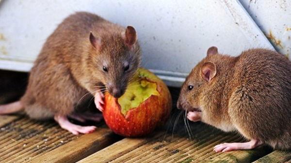 Как избавиться от мышей на даче?