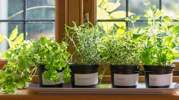 8 трав, которые можно вырастить на подоконнике