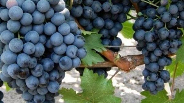 Виноградная бабка