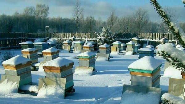 Как правильно ухаживать за пчелами, которые зимуют на воле