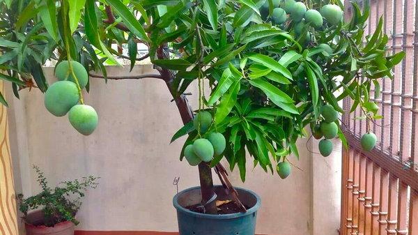 Как легко вырастить манго из косточки в домашних условиях