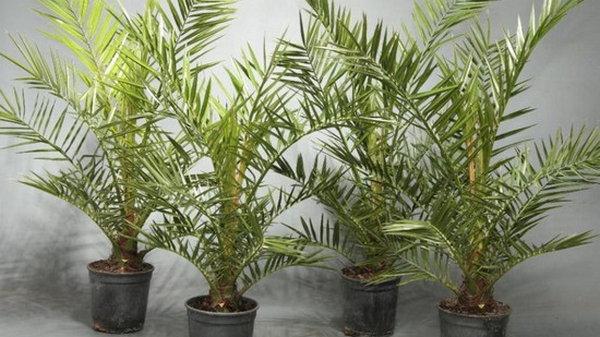 Растение для больших помещений — финиковая пальма