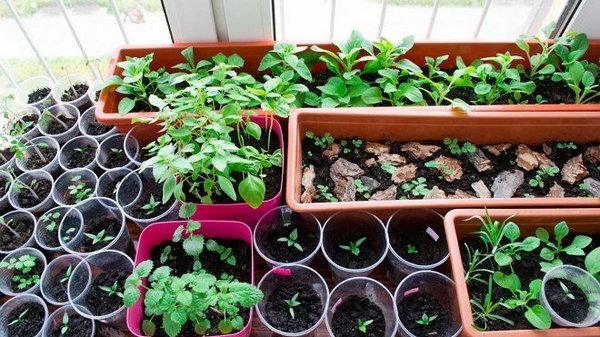 Семена каких цветов не нужно покупать для рассады