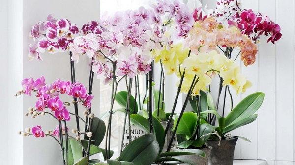 Куда поместить орхидею, чтобы она беспрерывно цвела