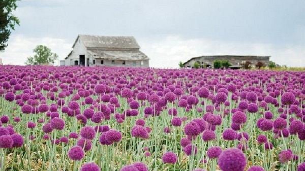 Зачем выращивать декоративный лук на дачном участке
