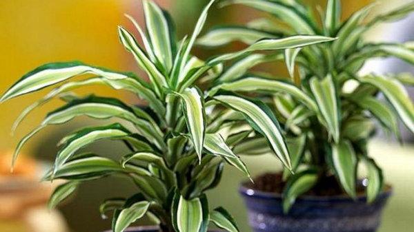 Драцена – уход и выращивание в домашних условиях