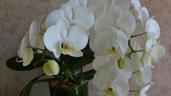 Почему стоит купить орхидеи с доставкой