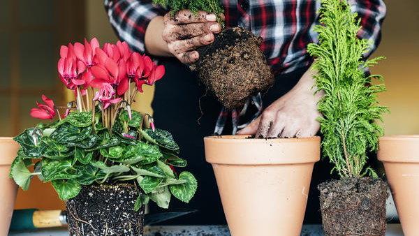 Пересадка и перевалка растений