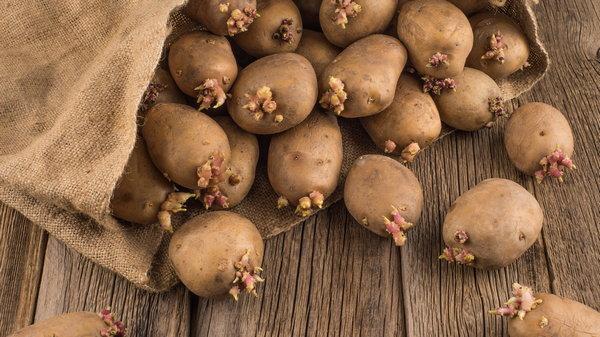 Подготовка картофеля к посадке, совет на миллион!