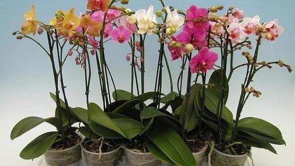 Мои орхидеи — моя гордость! Размножаю их одним секретным способом…