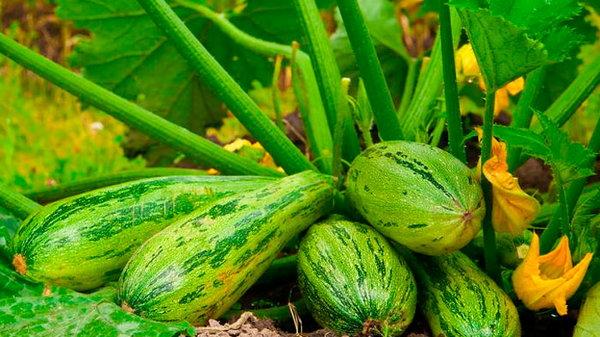 Ранний урожай кабачков и как его добиться