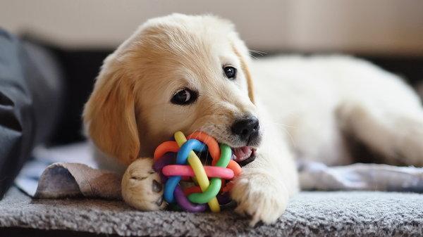 Как выбрать и воспитать щенка