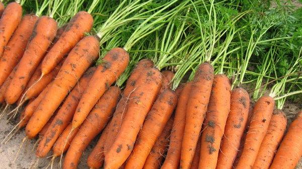 Как собрать богатый урожай моркови