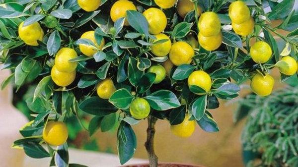 Руководство по выращиванию лимона в кофейной кружке