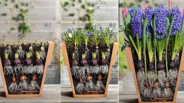 Цветовод посадила луковичные цветы необычным способом…